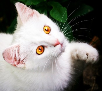 Hiddenclan - Forest of Shadows: Days of Old White Cat With Orange Eyes