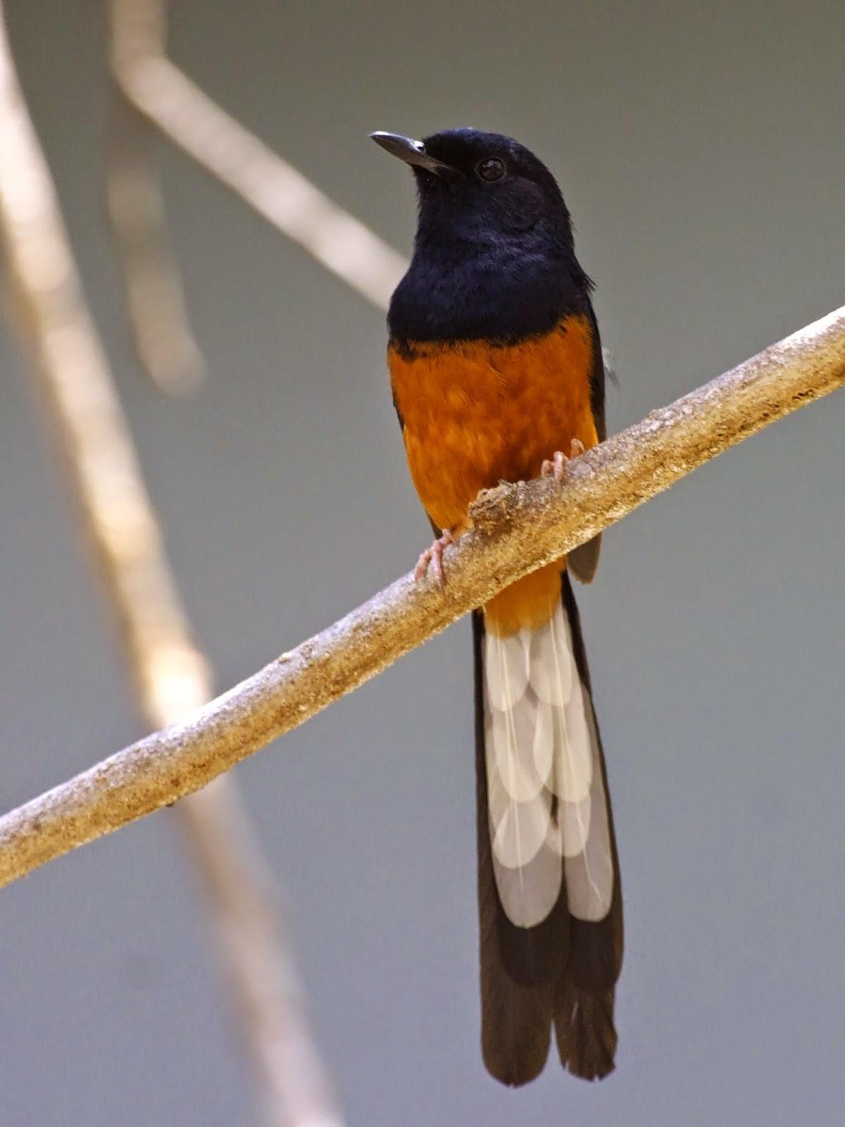 Foto Burung Murai Batu Jantan