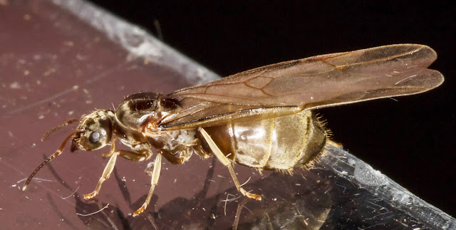 Ant, winged female.  Subfamily Formicinae.  In my garden light trap in Hayes on 22 August 2015