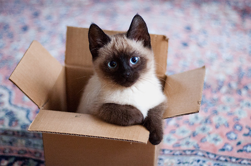 Where can i find siamese cat for sale 2016 siamese cats