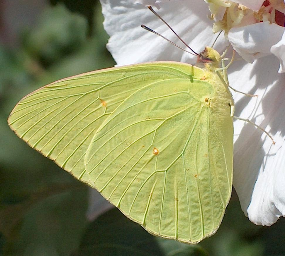 Sulphur Is An Older Spelling Of Sulfur, The Mineral Thatu0027s Color Is A  Perfect Match To These Butterflies.