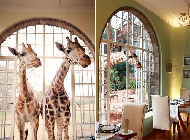 Dreams In Hd Giraffe Manor