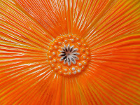 Close-up, yellow-orange poppy