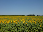 Our beautiful fields of Sunflowers..