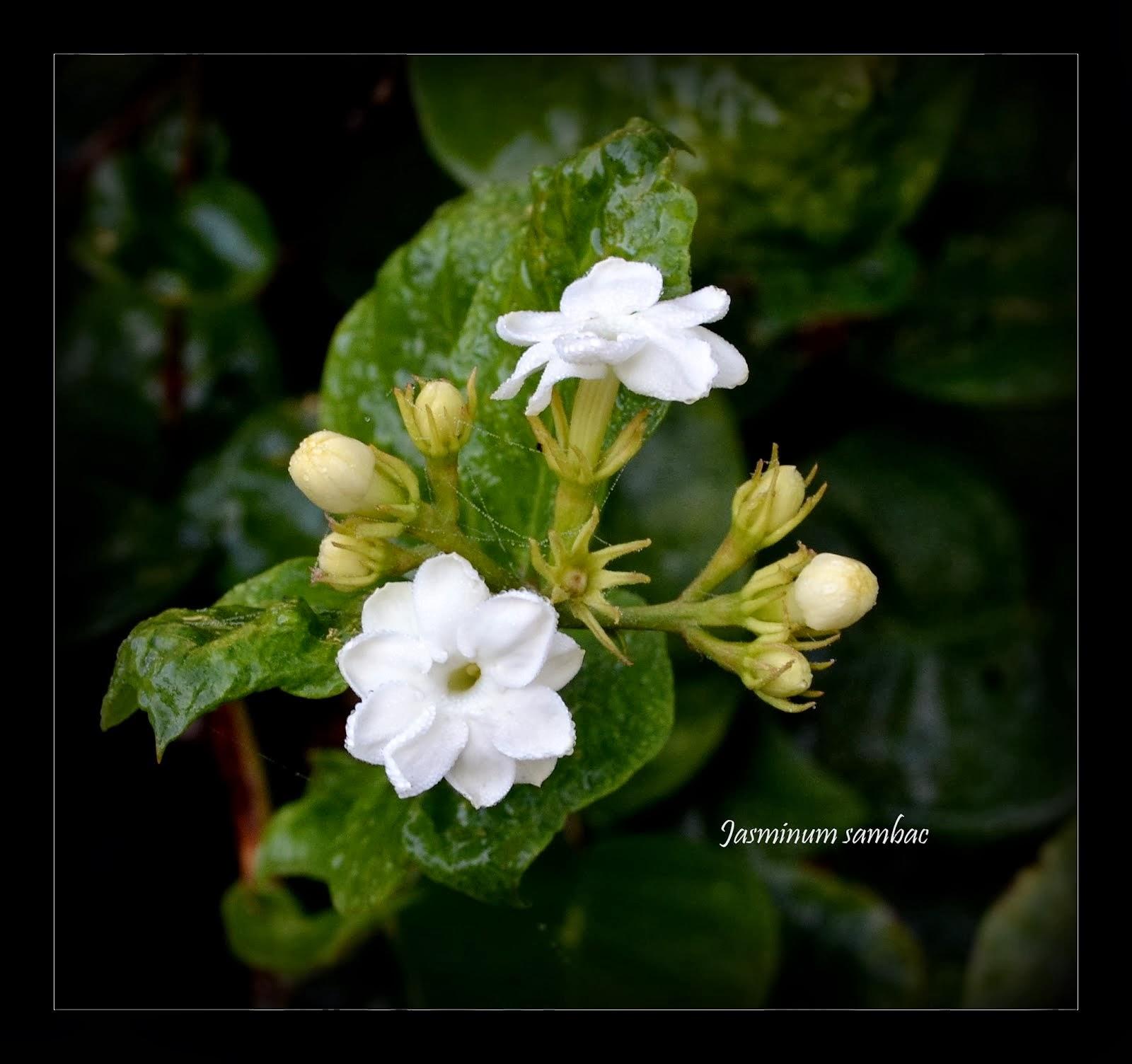Sambac Jasmine