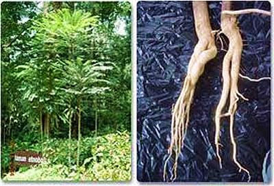 тонгкат растение