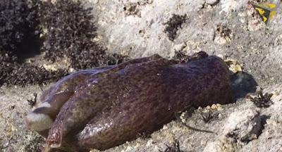 Enormous purple sea blobs are invading California East Bay beaches