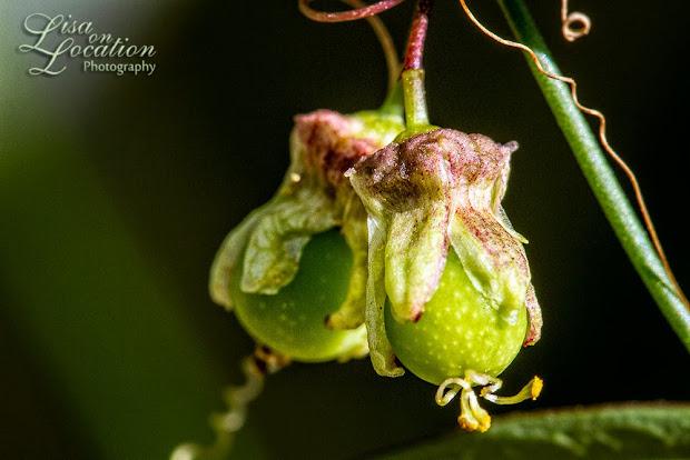 passiflora tenuiloba fruit