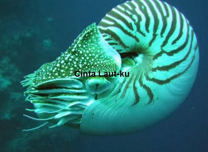 cangkang nautilus