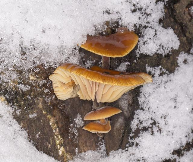 Velvet Shank, Flammulina velutipes, in snow on a tree stump in Hayes.  24 January 2013.