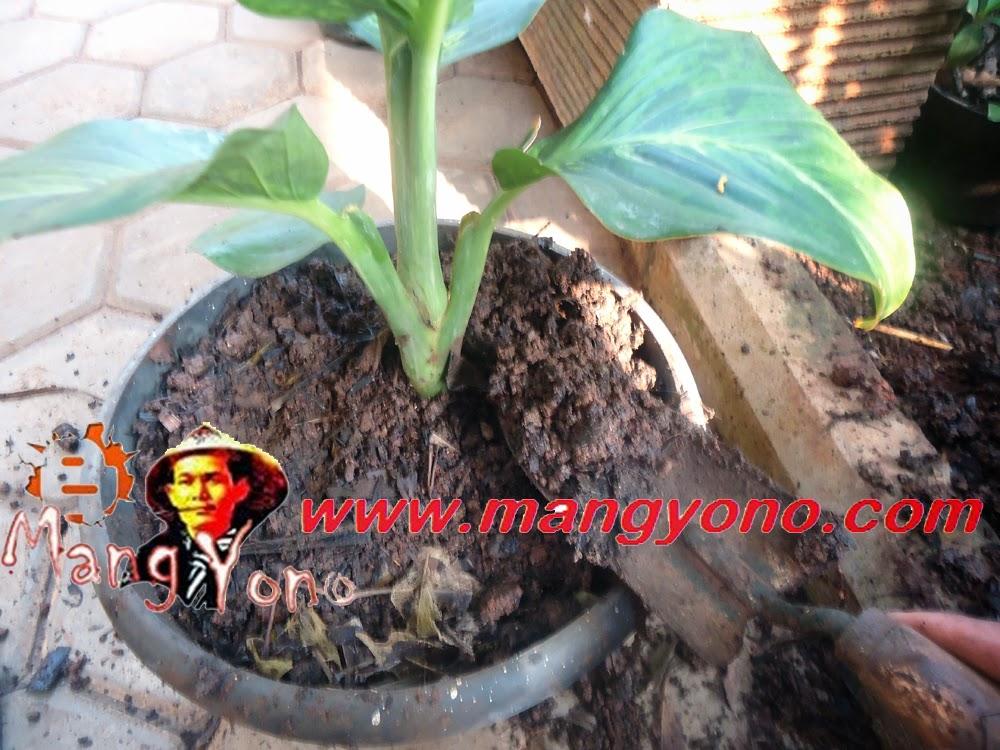 Letakan tanaman bunga tepat ditengah – tengah pot