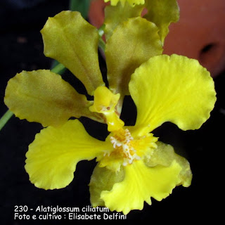Oncidium ciliatum do blogdabeteorquideas