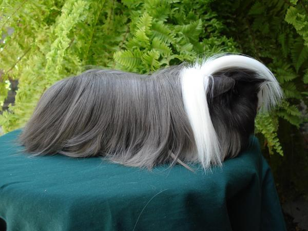 Cobaya pelo largo gris