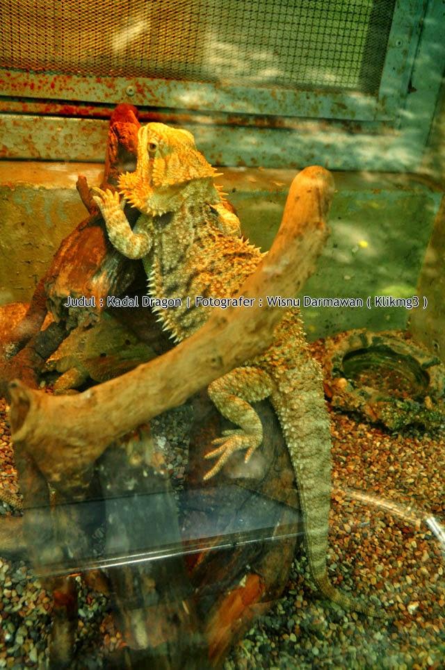 Judul : Kadal Dragon    Fotogarfer : Wisnu Darmawan ( Klikmg3 )