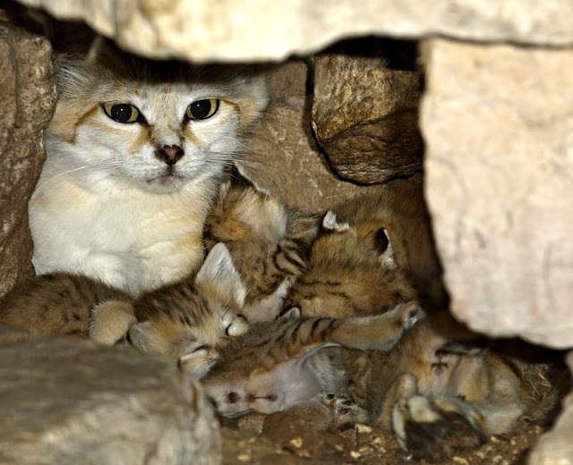 White Wolf 4 Rare And Adorable Sand Cat Kittens Born