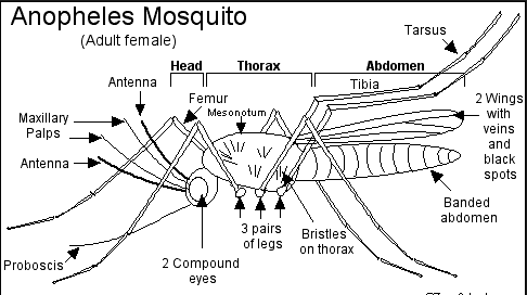 Anopheles Mosquito - Anatomy