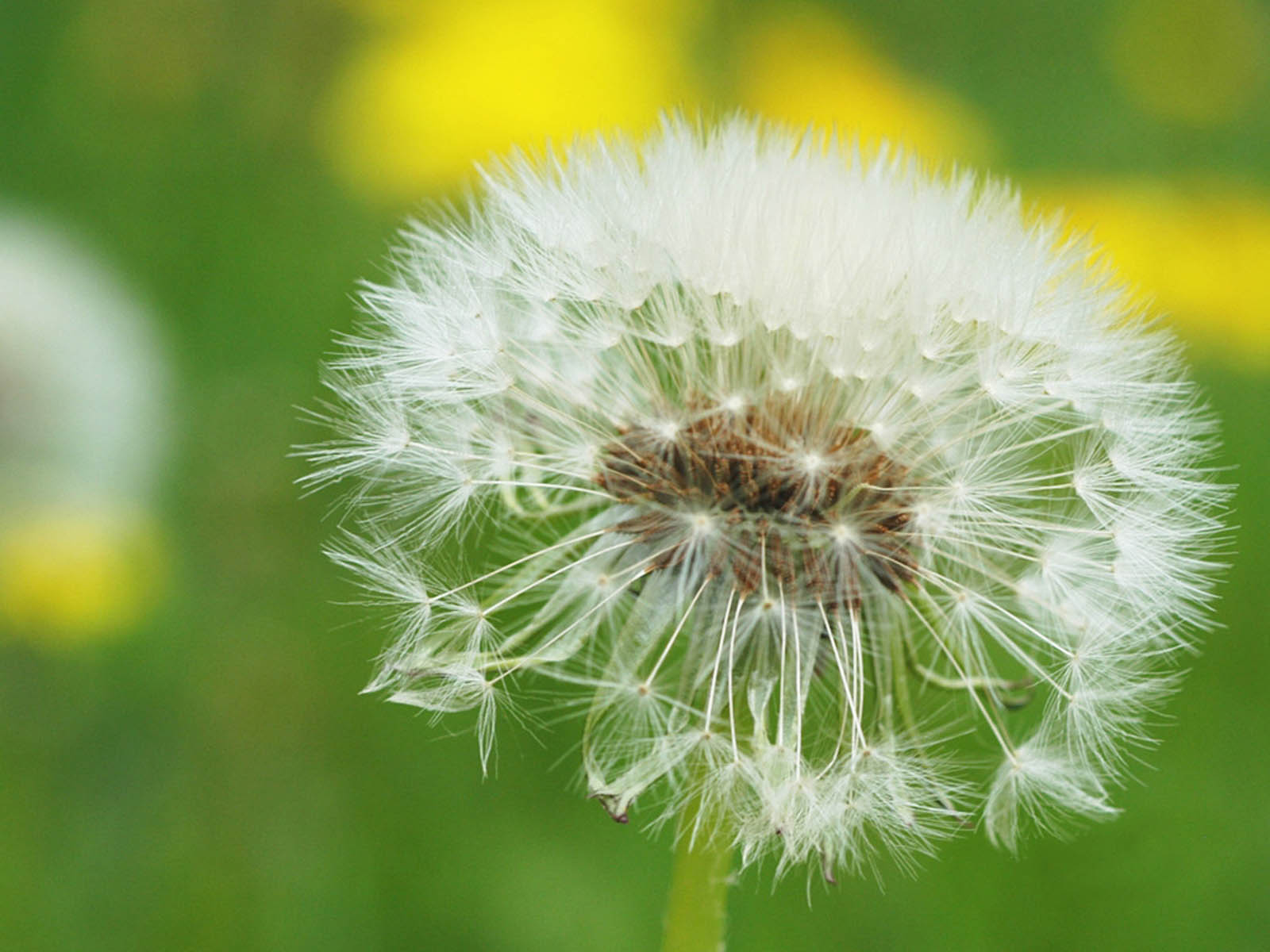 Wallpapers Dandelion Flowers Wallpapers