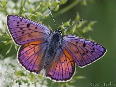 Violetais zeltainītis (Lycaena alciphron)