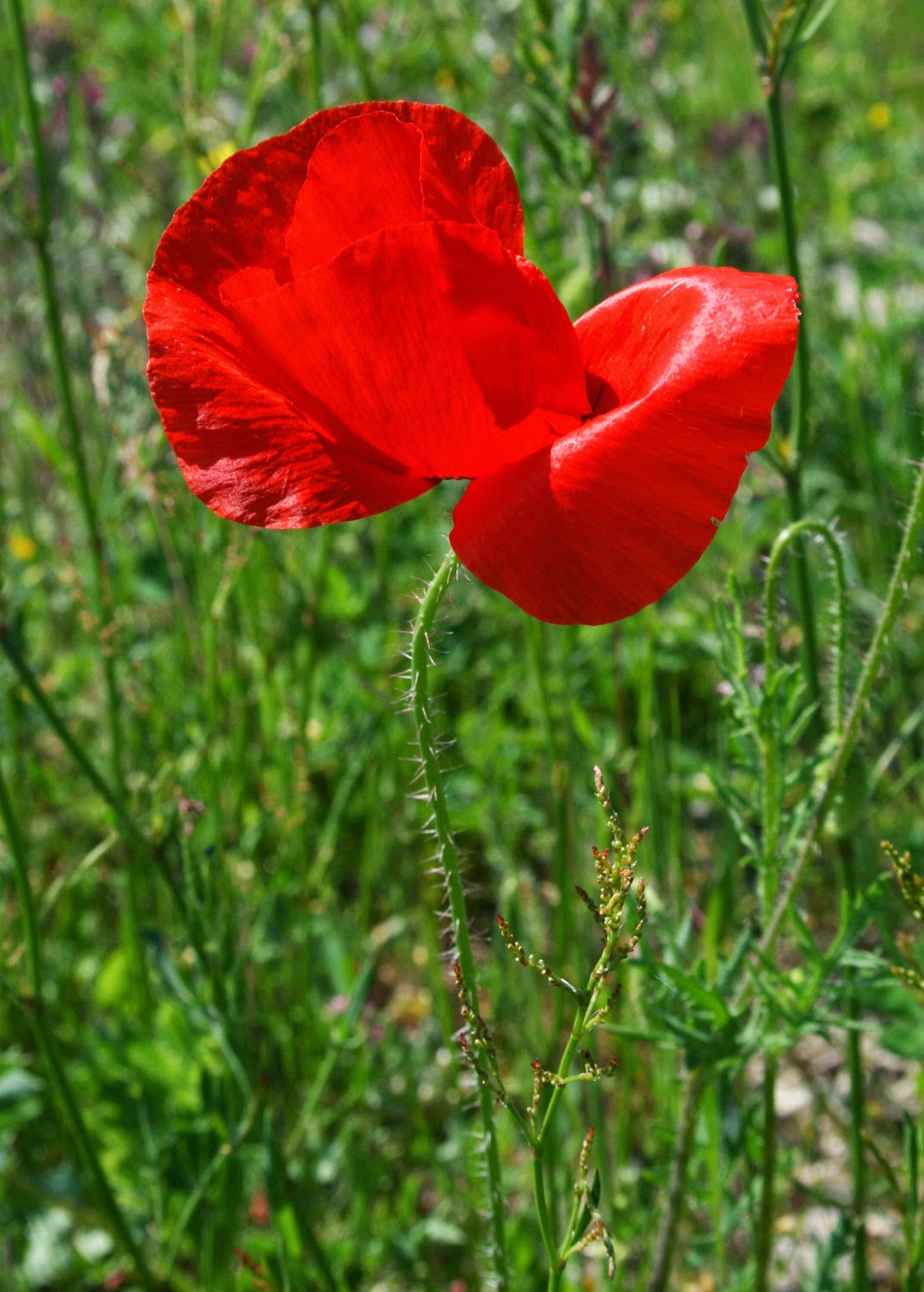 Lovely poppy from the side
