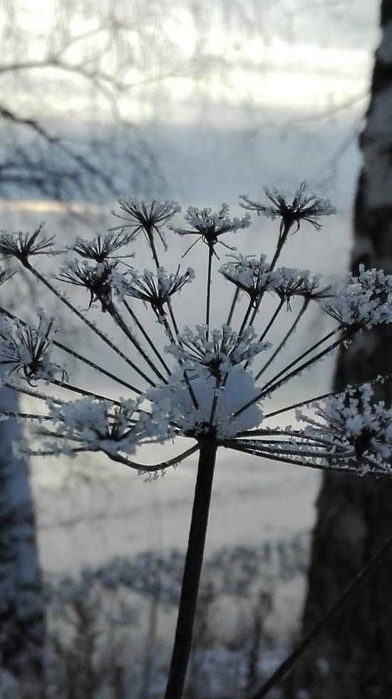 Talven törröttäjät ovat kauniita.