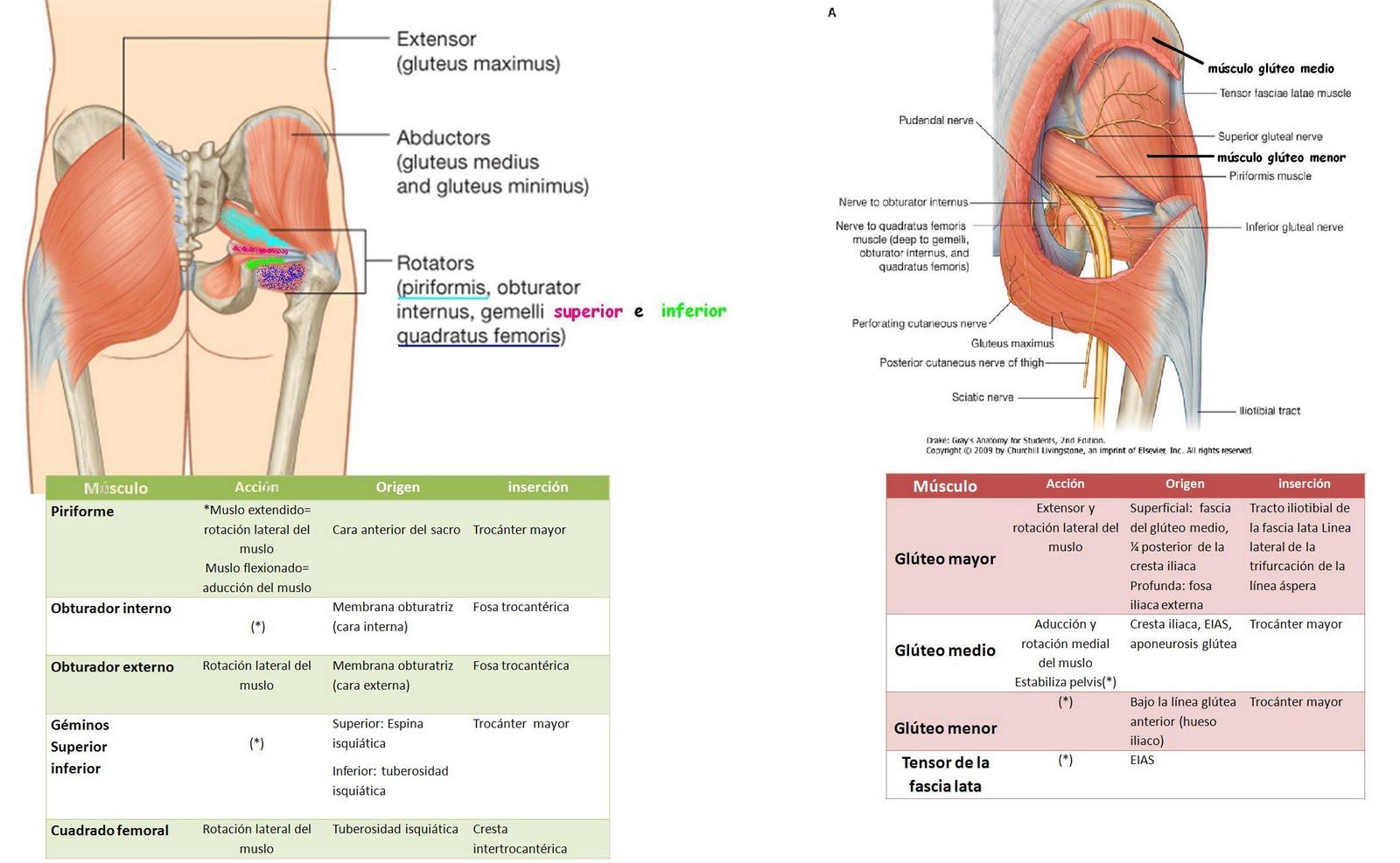 Anatomía UNAM: Músculos gl´{uteos y pelvitrocantérios