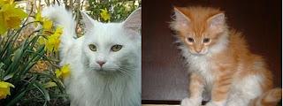 1) Maine Coon lông trắng. 2) Miêu cưng 75 ngày tuổi