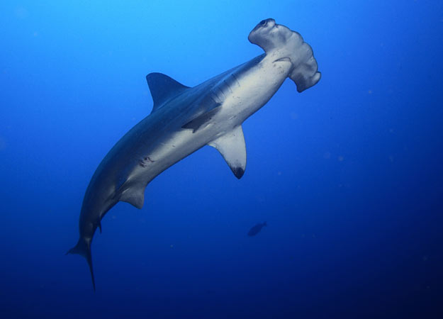 Hammerhead shark - photo#27