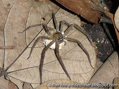 Domestic Huntsman Spider (Heteropoda venatoria)