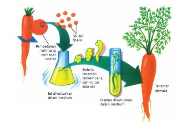 Permasalahan mendasar yang dihadapi bidang pertanian saat ini adalah kurangnnya ketersedia Pengertian Teknik Kultur Jaringan, Keunggulan, Kelemahan, dan Tahapannya