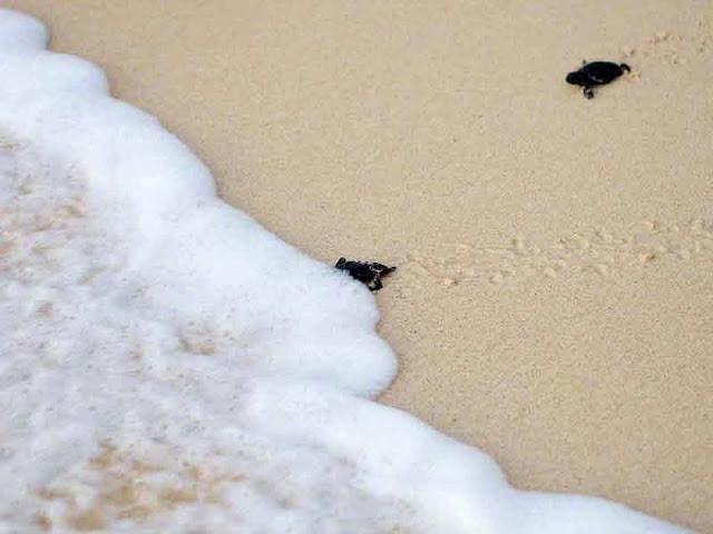 baby sea turtles run towards tide