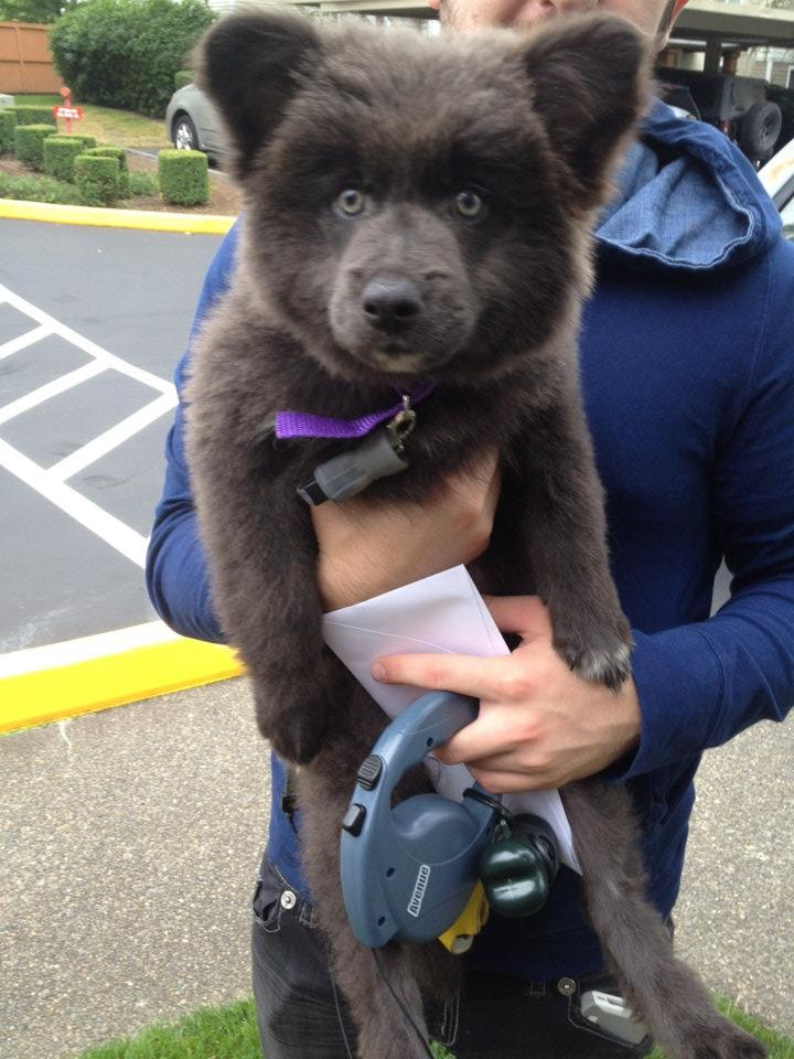 A puppy that looks like a bear cub, funny animal, cute puppy picture
