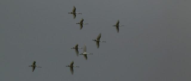 espatulas volando en formacion