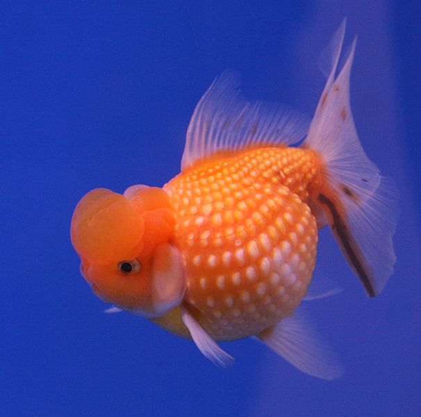 Pearlscale goldfish - photo#1