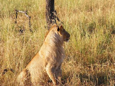 Lioness Serengeti, Tanzania, Africa by JoseeMM