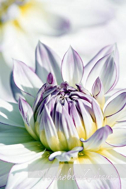 Makrofotografie Blüte einer Dahlie