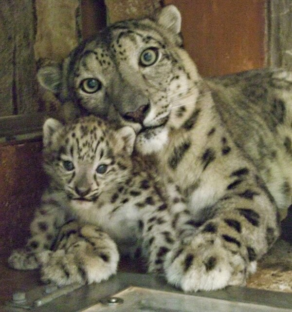 Funny animals of the week - 27 December 2013 (40 pics), baby snow leopard and mother