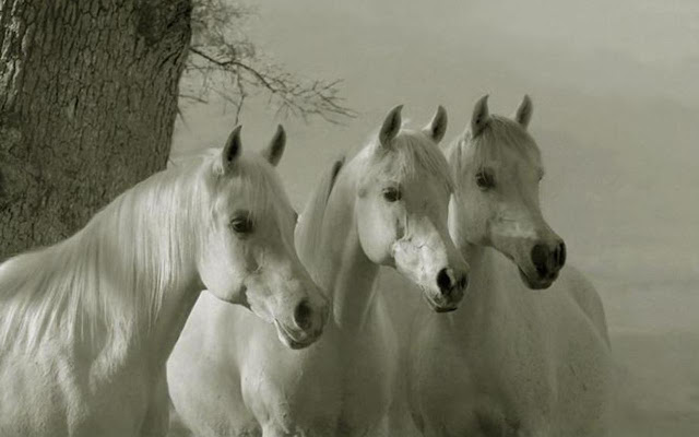 horses+wallpapers+%252812%2529