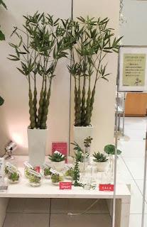 バンブーの観葉植物
