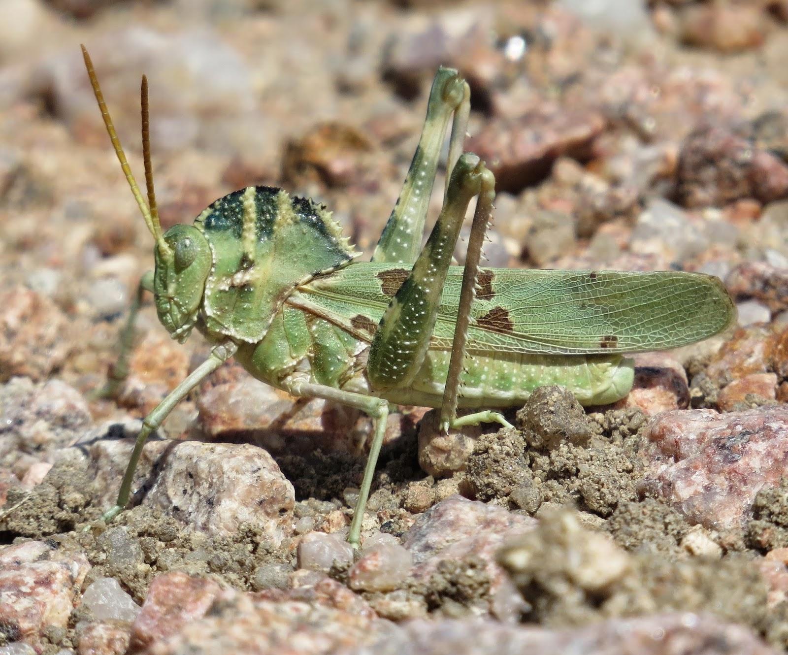 U.s. Grasshoppers Bug Eric: Great Creste...