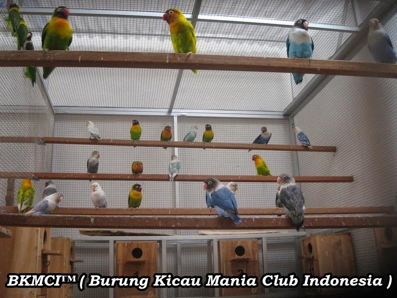 http://burungkicau-indonesia.blogspot.com/2014/11/cara-budidaya-ternak-burung-lovebird.html