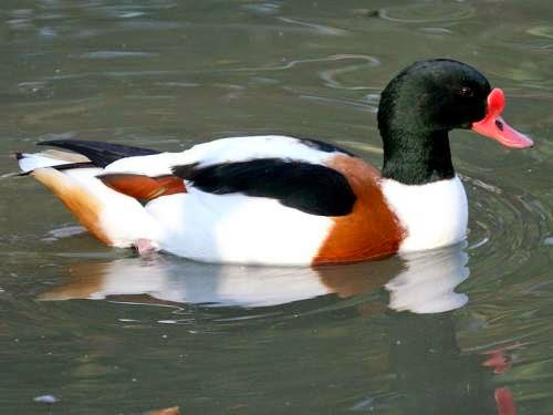 Indian birds - Common shelduck - Tadorna tadorna