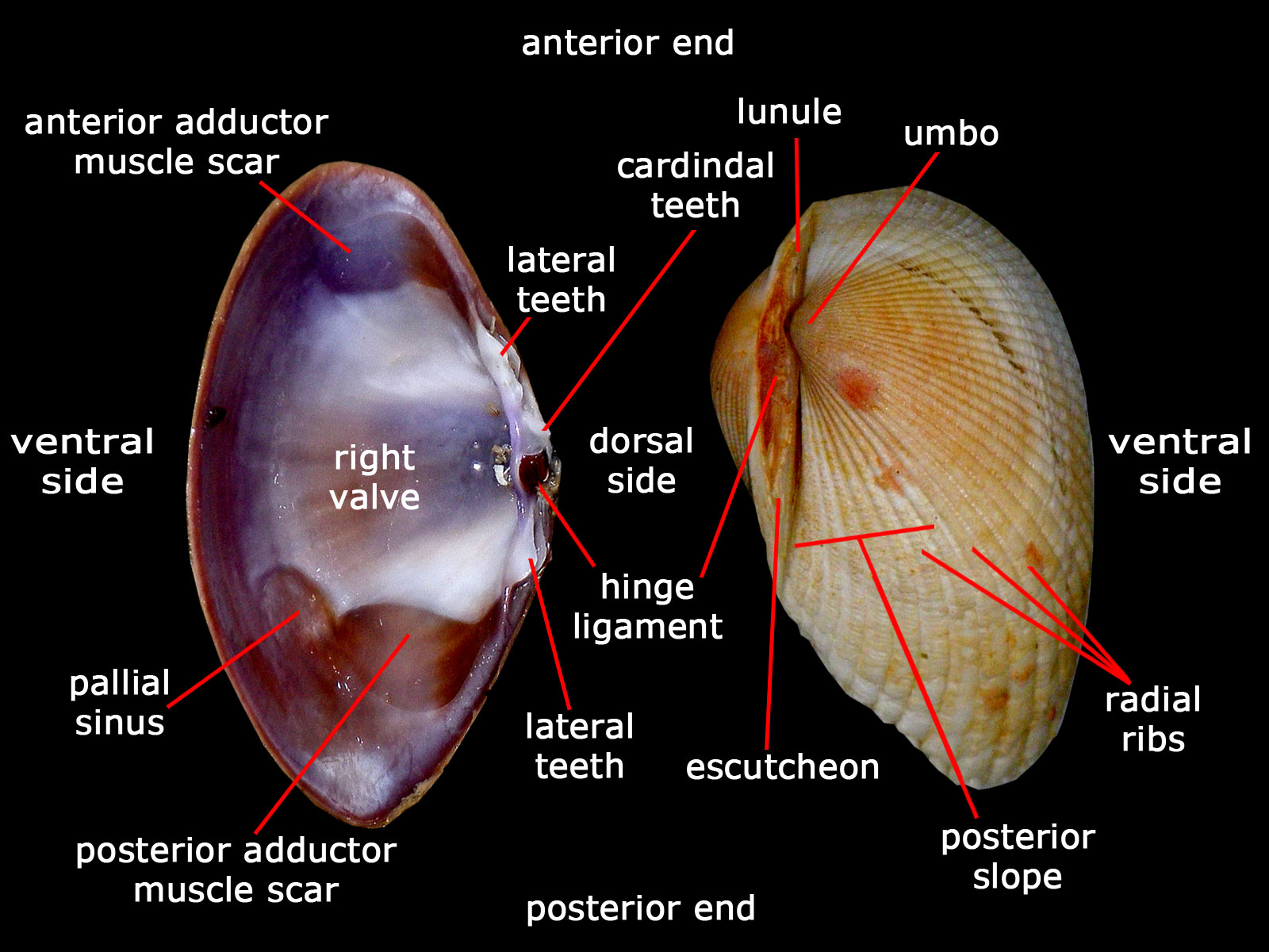 The Tide Chaser Heterodont Bivalves Phylum Mollusca Subclass