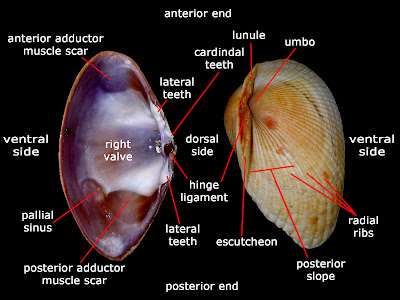 Parts of a bivalve's shell