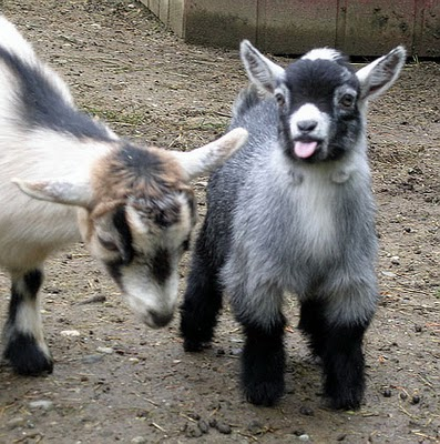 Baby pygmy goat jumping - photo#19