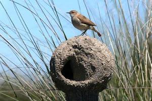 Aves de nuestro ambiente : El Hornero