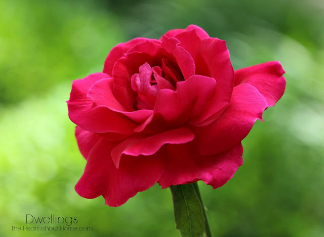 Red rose through the kitchen window