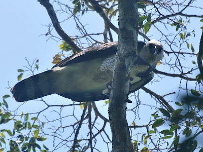 Jan Axel's Blog: Mr. Harpy Eagle