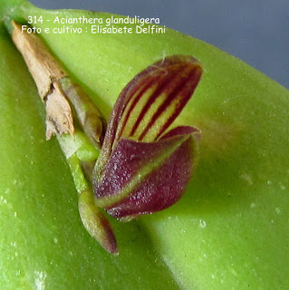 Acianthera glanduligera  do blogdabeteorquideas