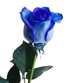Coffeebreak the meaning of blue rose - What are blue roses called ...