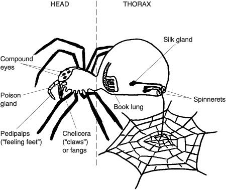 Tarantula eyes diagram